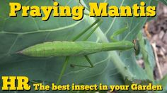 Check out this praying mantis in the greenhouse and garden! #mantis