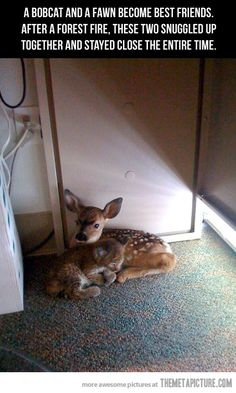 Bobcat and fawn found each other during forest fire and have been together like this ever since... I cant handle how cute this is
