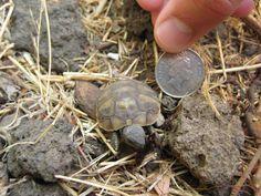 tortoise | Description Baby tortoise.jpg