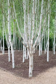 A group of silver birch trees. They can be planted close together so are happy in small gardens