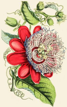 Passiflora, 1854. #Victorian vintage botanical illustrations These plants grow as wildflowers where Iive.They can be aggressive.