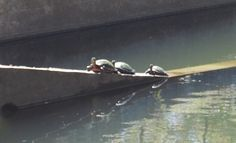 Turtle Traffic - Whew! I had to circle the pond 3 times before I found this parking spot.
