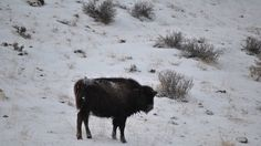 Petition · Church and U.S. Fish and Wildlife Service, Stop Murdering of OUR Buffalo! · Change.org