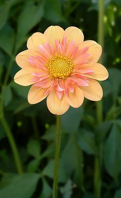 peach color - Pale Tiger Dahlia flower at Corralitos Gardens All Flowers, Exotic Flowers, Amazing Flowers, Pretty Flowers, Colorful Flowers, Flower Pictures, Trees To Plant, Mother Nature, Planting Flowers