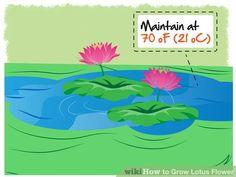 Image titled Grow Lotus Flower Step 16