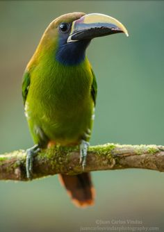 Emerald toucanet (Photo by Juan Carlos vindas)