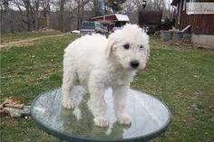 Image result for komondor puppies