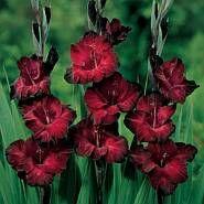 Gladiolus black jack