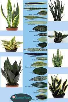 Easy Snake Plant care tips such as sun light, soil, water, temperature, & propagation. How to grow beautiful healthy Sansevieria plants indoors & outdoors! – A Piece of Rainbow #indoorplants #snakeplants #propagation indoor plants, houseplants, gardening, bohemian, living room ideas, boho home décor, #houseplants #gardening #gardeningtips #containergardening #diy #bohemian #bohemiandecor #bohochic #boho #homedecor #homedecorideas boho #bedroom #livingroom Succulent Gardening, Planting Succulents, Garden Plants, Planting Flowers, Cactus Plants, Cactus Art, Indoor Cactus Garden, Moss Garden, Succulent Wall