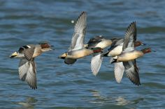 Common Teal flock