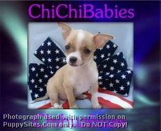ChiChiBabies Chihuahuas