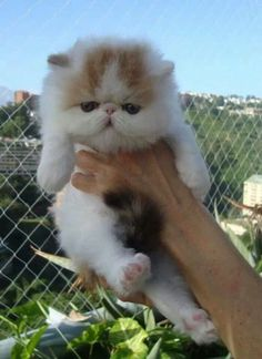 gato persa fofinho!