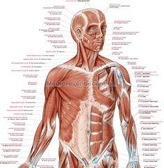 anatomie-poster-spieren-anatomische-spierenposter-menselijk-lichaam-al100-2_1.jpg (916×936)