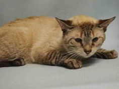 ***TO BE DESTROYED 09/07/16*** ONYX IS S BEAUTIFUL, SEAL POINT SIAMESE MIX AND…