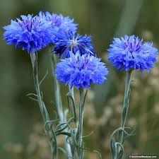 Image result for Cornflower,