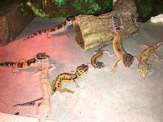 Lepord Gecko, Leopard Gecko Cute, Leopard Gecko Habitat, Cute Gecko, Baby Leopard, Cute Little Animals, Cute Funny Animals, Leopard Gecko Terrarium, Cute Lizard