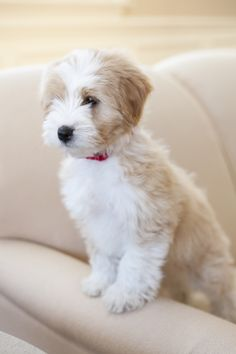 Newest breed on my list! Tibetan terrier