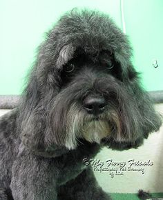 A few weeks ago I was asked to show how I groomed the head on the rescue dog that I competed with in Hershey. I have been waitin. Schnauzer Grooming, Dog Grooming Tips, Poodle Grooming, Havanese Haircuts, Dog Haircuts, Dog Grooming Styles, Dog Grooming Salons, Miniature Schnauzer Puppies, Schnauzer Puppy