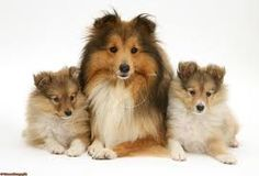 Shelties:-)