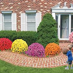 giant mums; 2 of each color (red, yellow, purple, orange, pink) for $64. minimal care required!