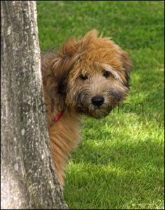 #254 hide and seek with a soft coated wheaten terrier.