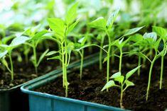 рассада перцев Farm Gardens, Plants, Plant, Planets