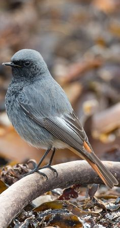 Picture of a black redstart. #birds #redstart