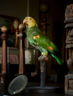 1940 Pet Parrot Taxidermy...Lucy