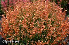 Deer resistant- Agastache 'Summer Sunset'- rounded natural structure.  Zone 7 friendly.