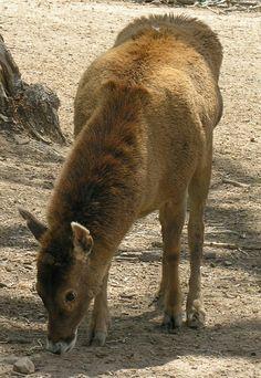 Lipped Deer
