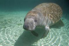 Photograph Florida Manatee, Crystal River, Florida, USA by Daniel Ehrensberger on 500px