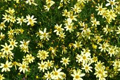 Moonbeam Coreopsis is a perennial that produces small yellow flowers.