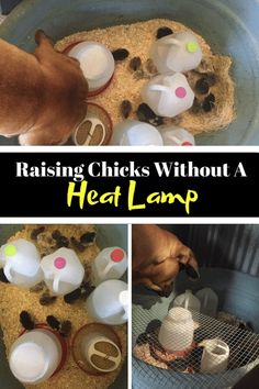 Raising Chicks Off Grid Without Electricity Off The Grid Grid Raising Chickens