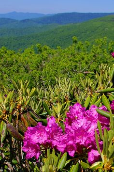 Rhododendron in bloom along the Blue Ridge Parkway in the North Carolina Mountains at Craggy Gardens near Asheville.