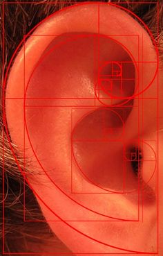 Phi applied to an ear by by Nick Lankester, http://www.imagekind.com/Phi-Ear-and-Spirals-art?IMID=7a96446b-7d7d-45fc-badf-fb74f849da07