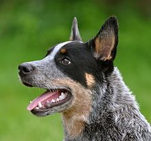 the Australian Cattle Dog has high energy levels, an active mind, and a level of independence.[8] The breed ranks 10th in Stanley Coren's The Intelligence of Dogs, rated as one of the most intelligent dogs ranked by obedience command trainability