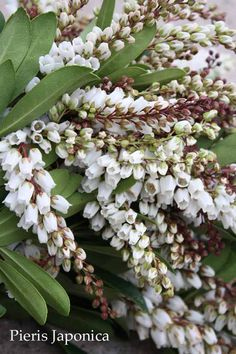 Pieris Japonica / Andromeda -this stuff rocks!! I use it in floral arrangements a lot!!