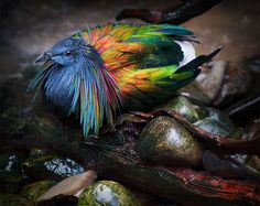 A Nicobar pigeon: the only member of the Caloenas genus in the Columbidae family of the Columbiformes order. The color was amazingly vivd.