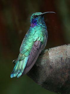 Beautiful Green Violet-ear hummingbirds