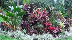 El Arish Tropical Exotics: Lush Tropical Plants for Australia: Foliage in the Tropical Garden Patio Tropical, Tropical Garden Design, Tropical Landscaping, Landscaping Plants, Landscaping Ideas, Tropical Flowers, Tropical Plants, Tropical Gardens, Variegated Liriope