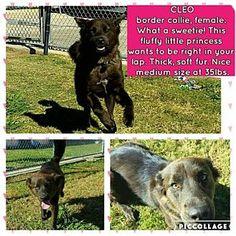 Irving, TX - Border Collie Mix. Meet Cleo, a dog for adoption. http://www.adoptapet.com/pet/17083385-irving-texas-border-collie-mix