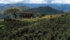 Central, Cordillera: coffee growing on middle slopes