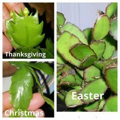 Think you have an Easter Cactus? Compare the leaves to ones in this guide to be sure. Then check out the proper care requirements to ensure beautiful blooms on your Easter cactus this spring. Cacti And Succulents, Planting Succulents, Garden Plants, House Plants, Planting Flowers, Indoor Garden, Christmas Cactus Plant, Easter Cactus, Cactus Leaves