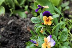 Orange & Purple Pansies