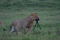 So cute - lioness with a camera