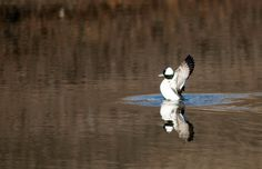 Hendry Vineyard Life 2: In winter, our two reservoirs are havens for ducks, including this bufflehead.#hendryvineyardlife