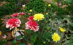 Chị em mê mẩn trồng hoa thược dược nhiều màu đón Tết - Hình 5