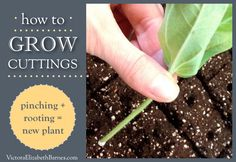 How to grow cuttings:  pinching and rooting.