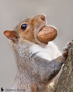 Photograph Squirrel by Stefano Ronchi on 500px Somehow this acorn got stuck in my mouth.....