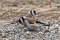 The European goldfinch